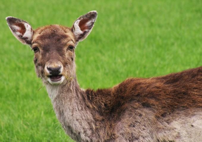 roe-deer-109883_960_720